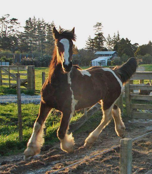 welsh c gypsy cob cross