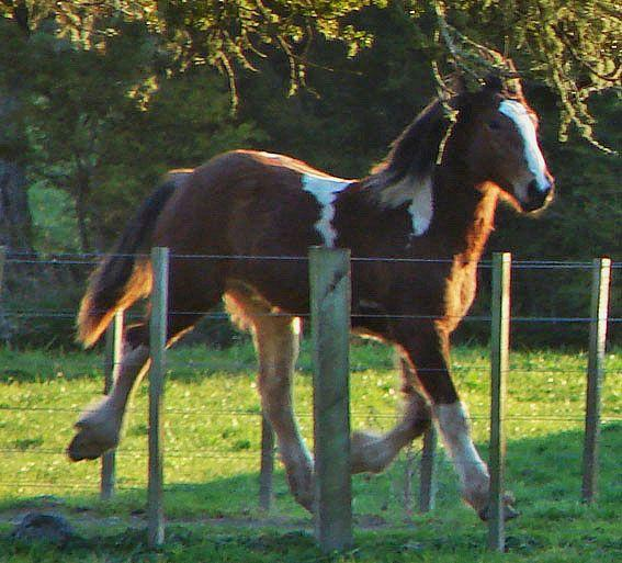 welsh C gypsy cross colt
