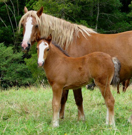 welsh c cross heavy filly with gypsy vanner