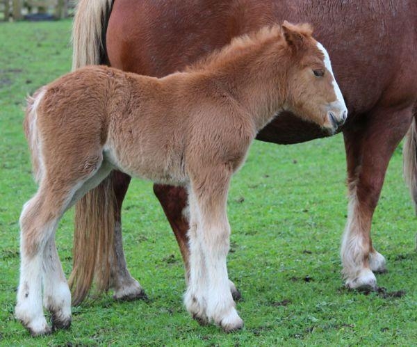 part bred gypsy cob filly