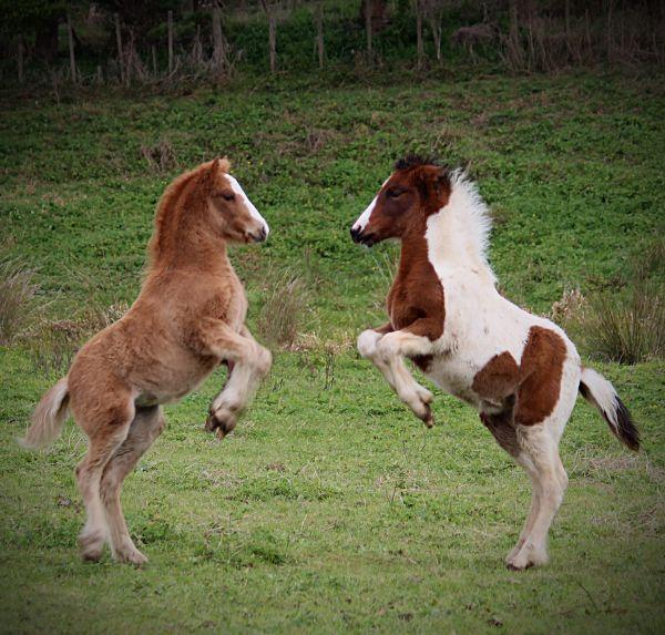 gypsy vanner foals playing