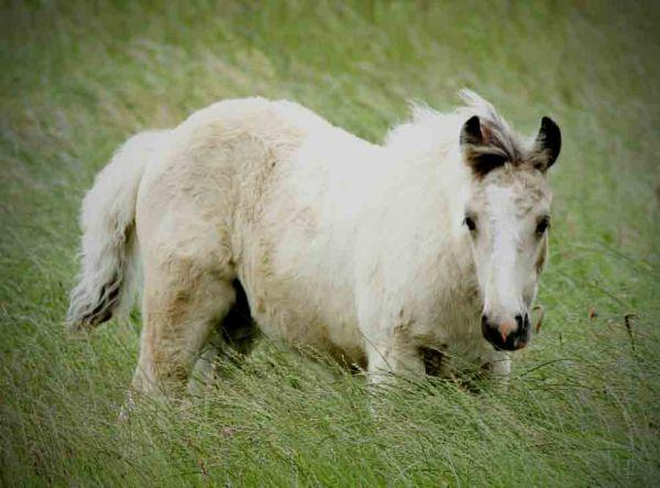 top quality buckskin gypsy vanner colt for sale