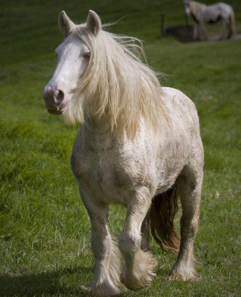 cremello gypsy cob stallion at stud in new zealand