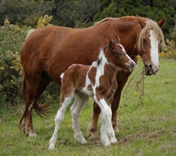 welsh cob gypsy cob cross for sale