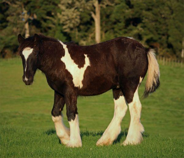 gypsy vanner for sale in New Zealand