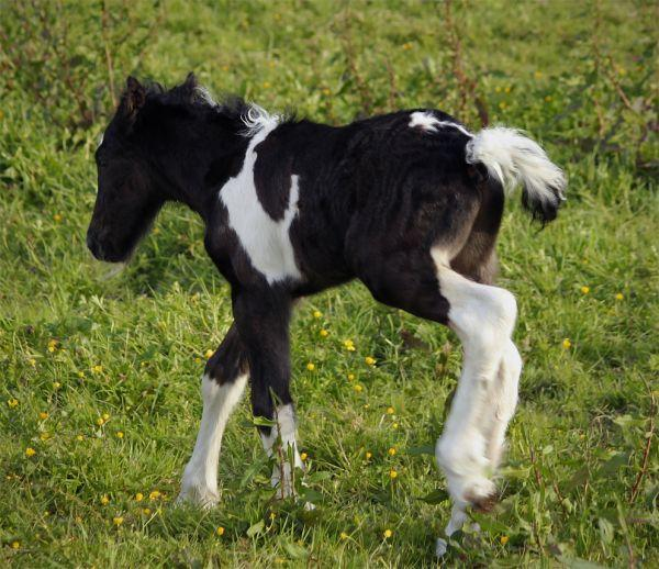jet black and white gypsy cob