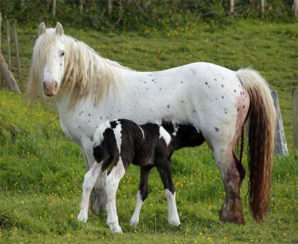 gypsy cob colt cart work