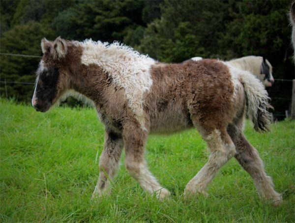 top quality gypsy vanner filly for sale