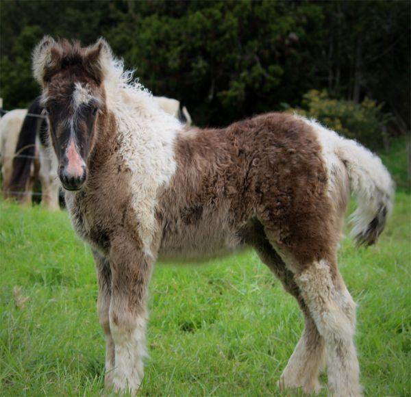 smokey black filly gypsy vanner