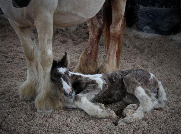 cute gypsy vanner foal picture