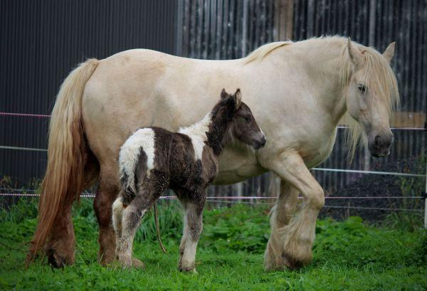 palomino gypsy cob mare new zealand
