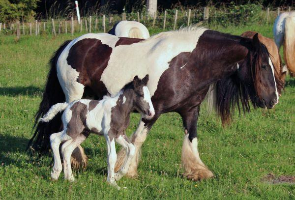 heavy boned gypsy cob stallion