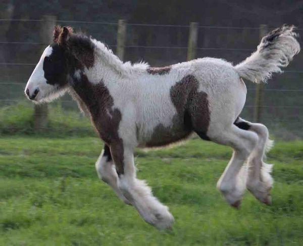 big gypsy cob for sale