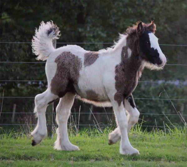 big gypsy vanner for sale