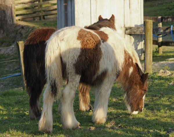 gypsy cob gelding new zealand