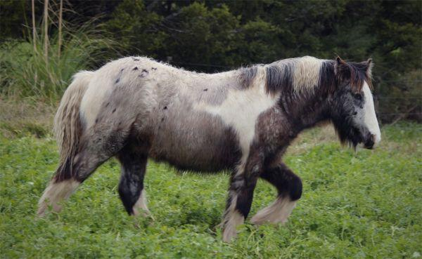 gypsy cob stallion with PATN1 and the LP gene