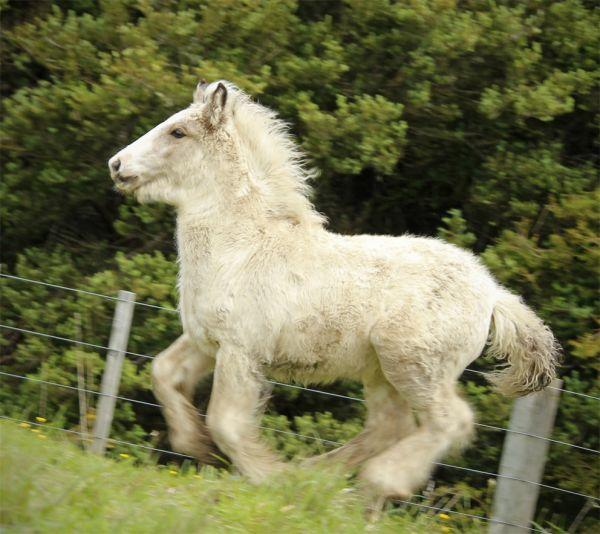 gypsy cob buckskin for sale NZ
