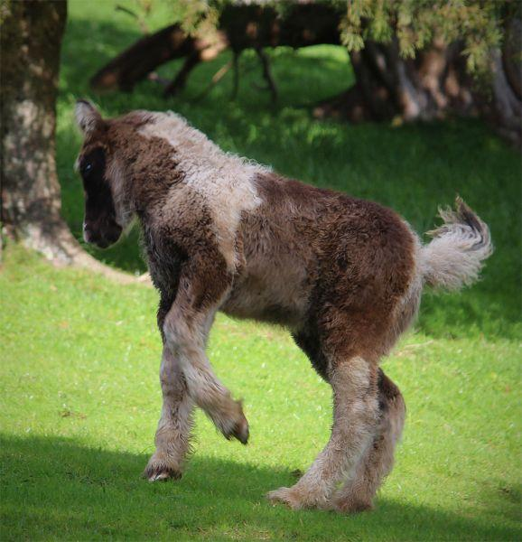 top quality smokey black  gypsy vanner filly for sale
