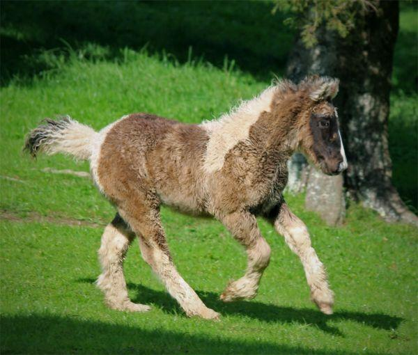 smokey black gypsy cob filly