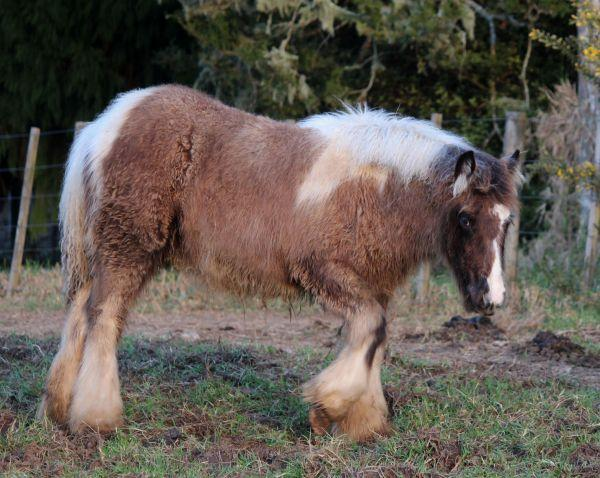 smokey black quality gypsy cob filly