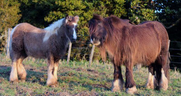heavy gypsy vanner for sale in New Zealand