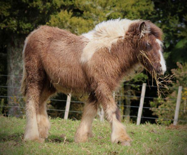 gypsy vanner smokey black filly