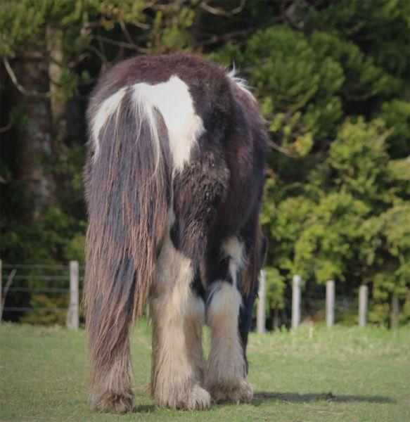 7/8 gypsy cob colt foal for sale