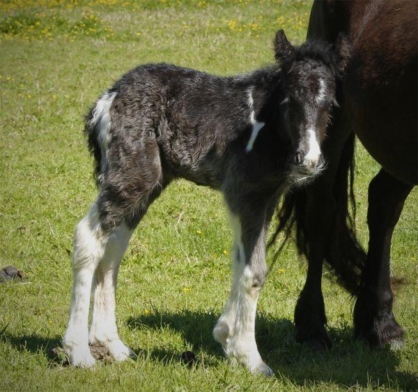 7/8 gypsy vanner colt foal for sale